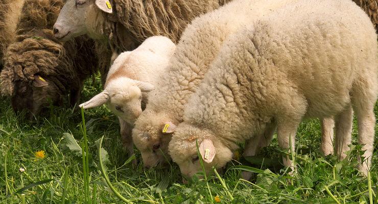 Genau 45 Mutterschafe erfreuen sich auf der Hopfenburg bester Gesundheit. Beweis für diese These: 15 neue Lämmer in der Saison 2013.