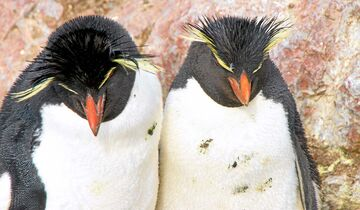 Isla Pingüino, Argentinien: Felsenpinguine sind hier nicht scheu.